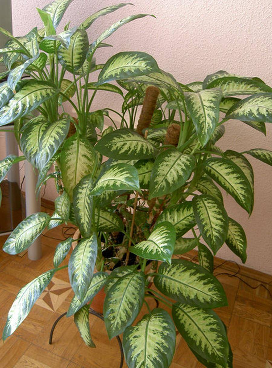 Диффенбахия — уход в домашних условиях, размножение