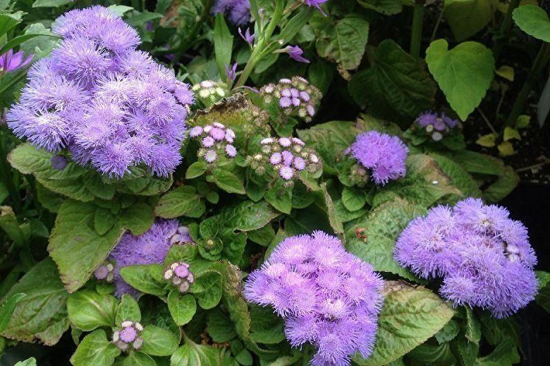 Агератум голубая норка выращивание из семян