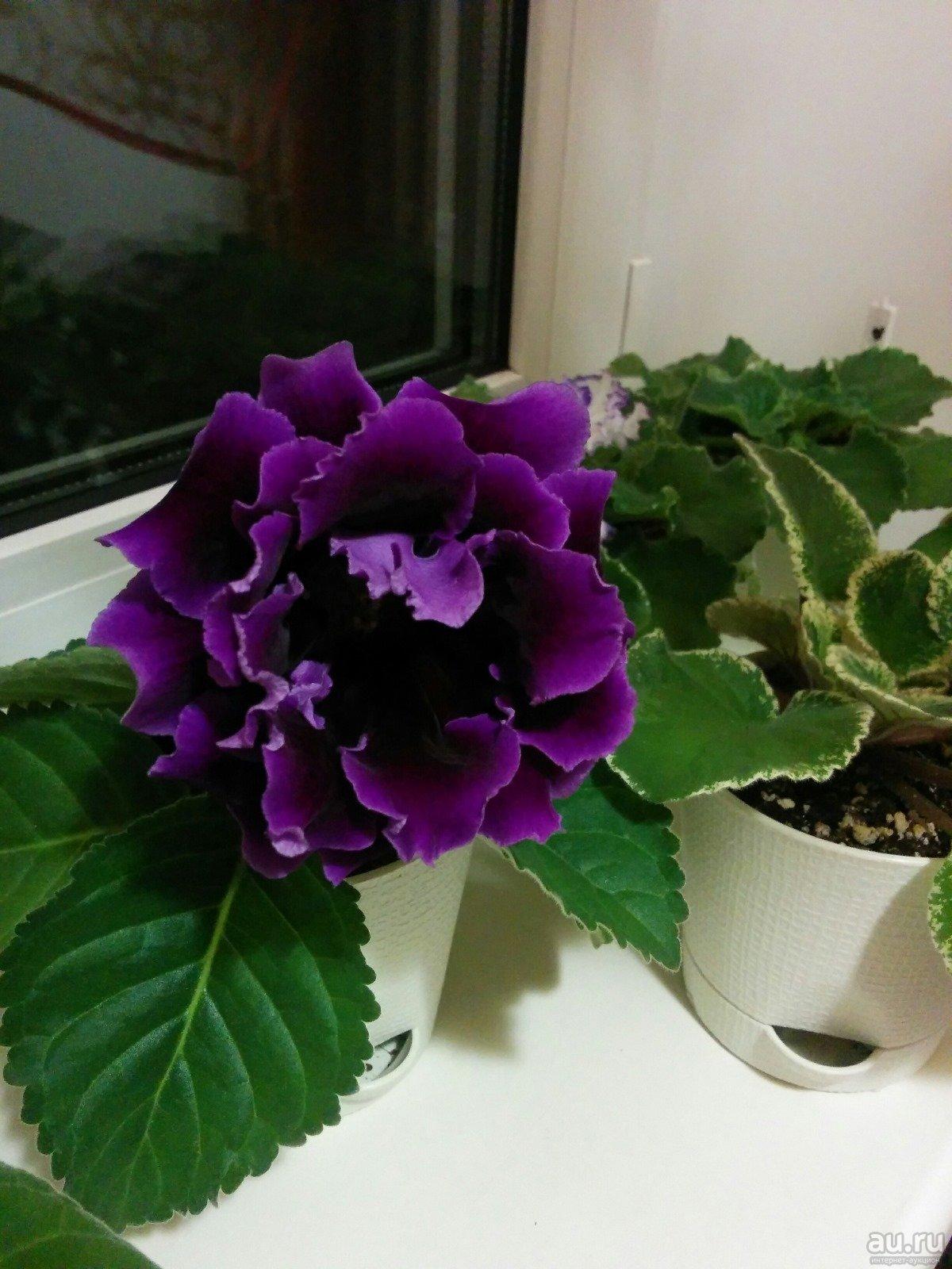 Глоксиния (синнингия) — выращивание и уход в домашних условиях