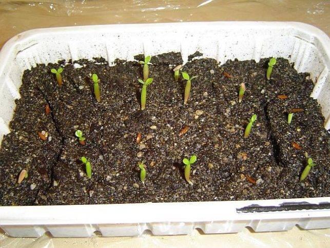 Как и когда сажать розы для выращивания семенами