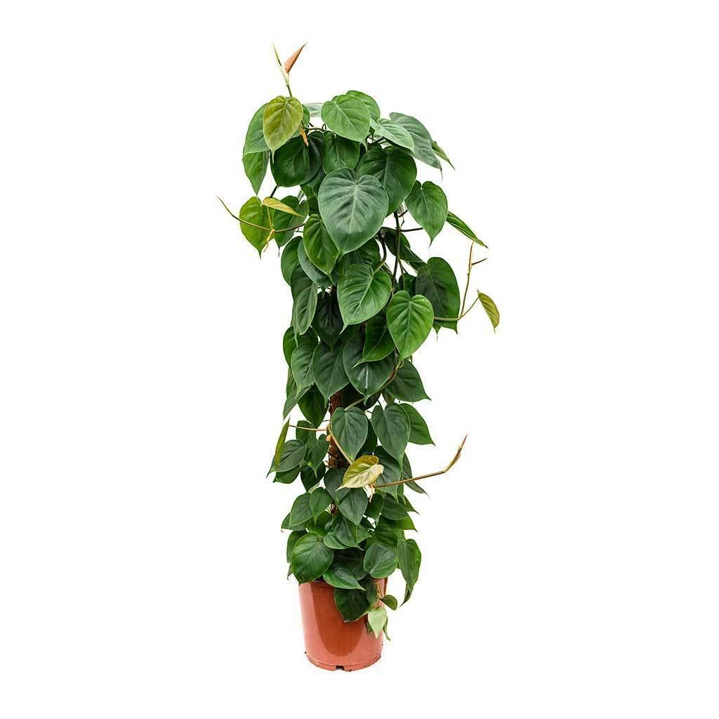 Комнатное растение филодендрон: многообразие видов, описание разновидностей