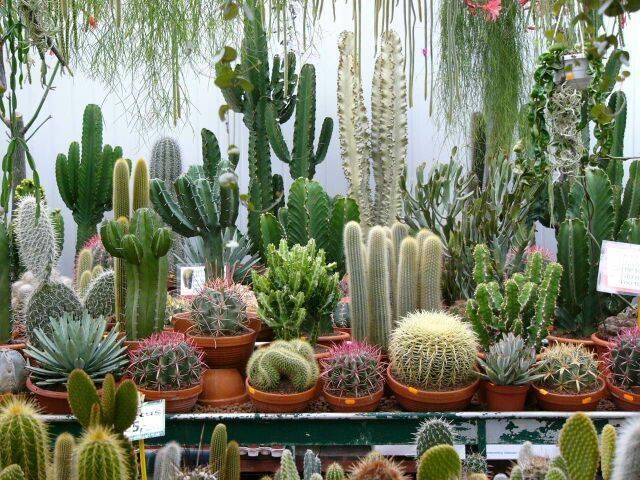 Зацвел кактус: народные приметы и суеверия