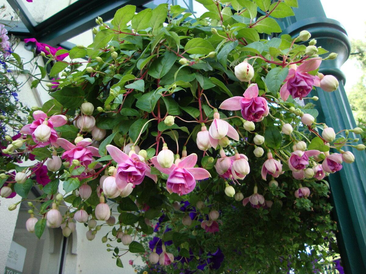 Ампельная фуксия: посадка и уход, фото цветов