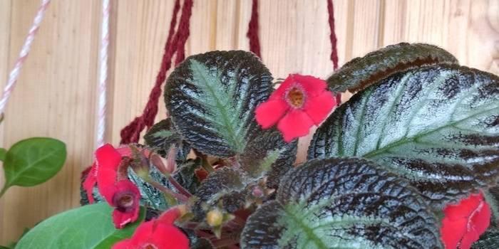 Эписция: фото и уход в домашних условиях, а также размножение цветка