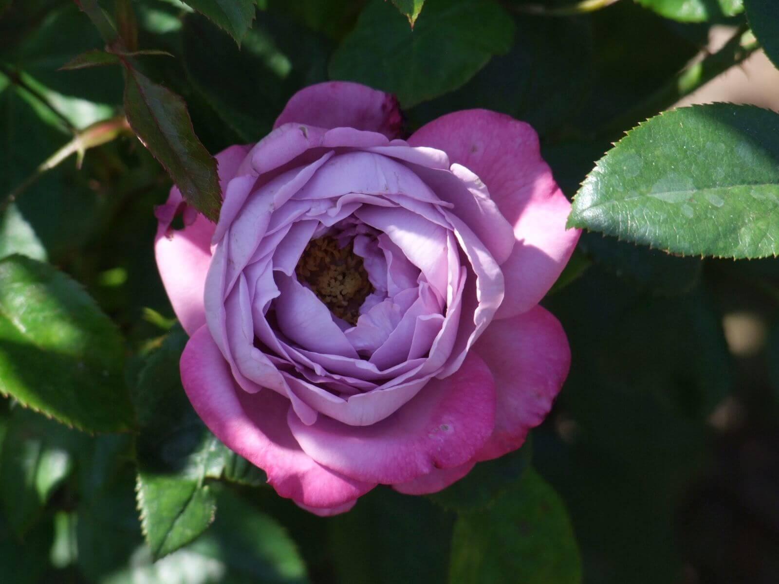 Роза флорибунда: описание, сорта, правила посадки и ухода