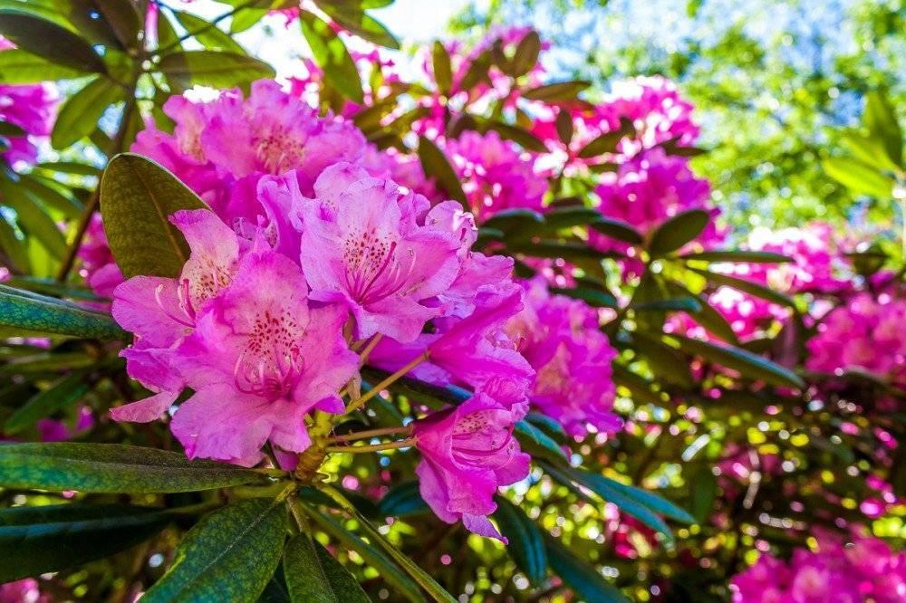 Почему не цветет рододендрон? о чем нужно знать цветоводам