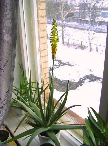 Как цветет алоэ в домашних условиях?