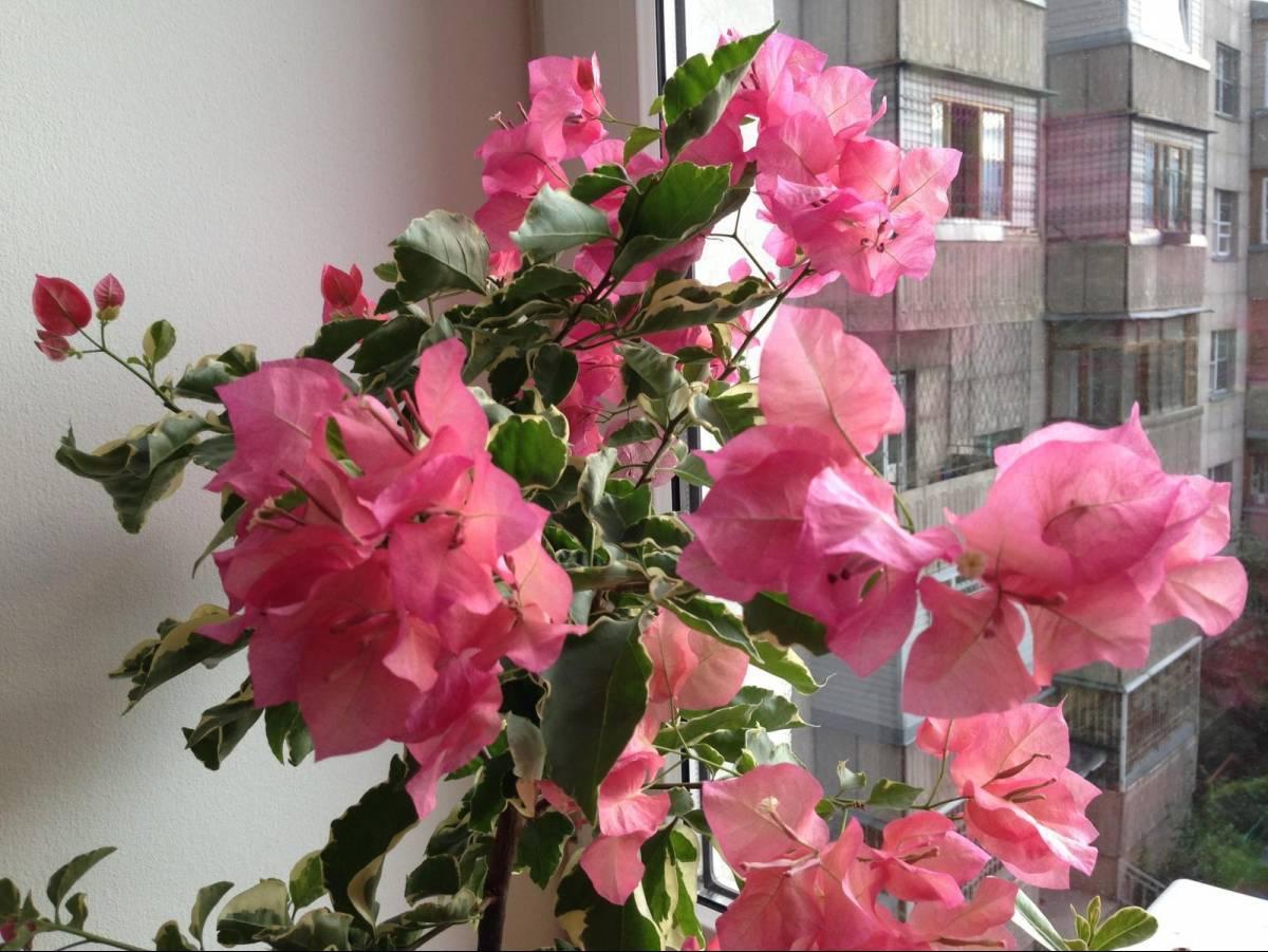 Бугенвиллия выращивание и уход в домашних условиях, описание и многообразие видов