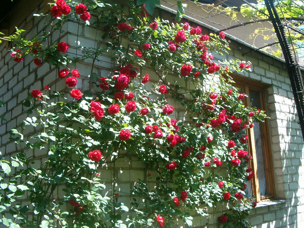 Посадка плетистых роз уход, обрезка
