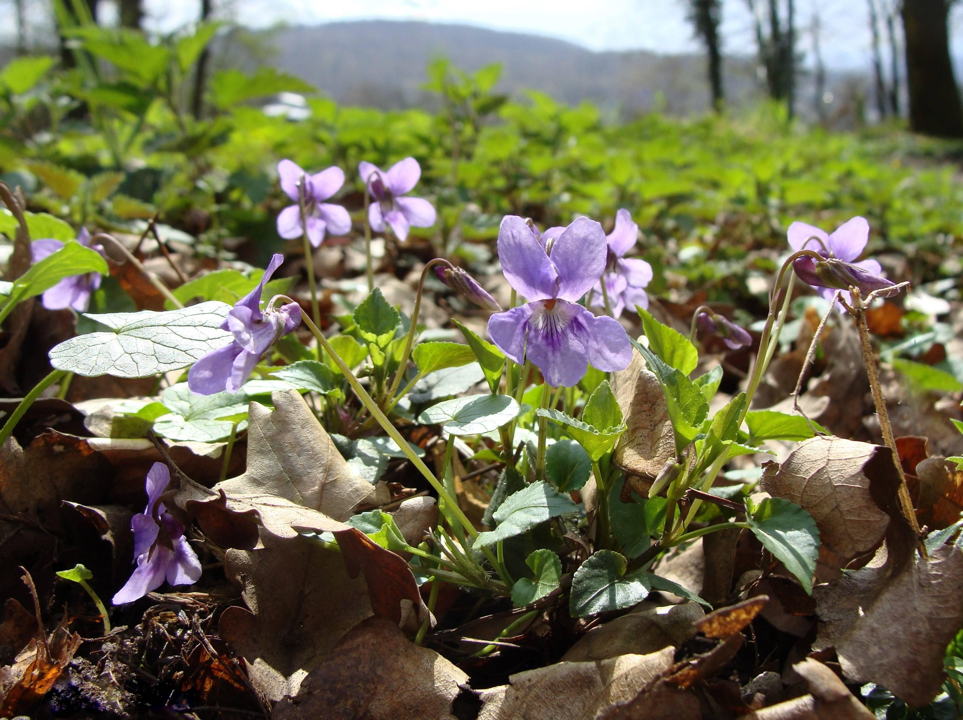 Интересная информация о том, где растёт фиалка в природе