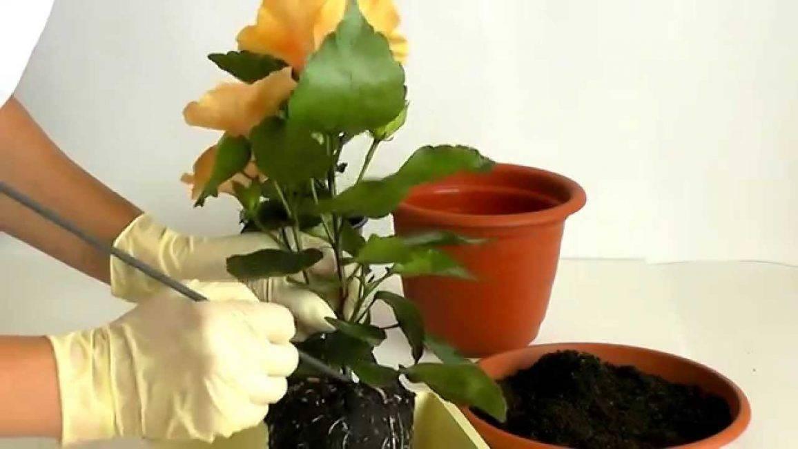 Как пересадить комнатную розу в другой горшок после покупки цветка или его разрастания, а также как правильно ухаживать за домашней культурой по окончании процедуры?