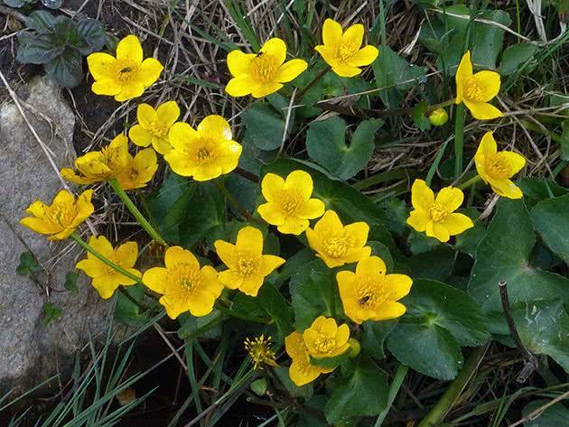 Калужница болотная (сaltha palustris)  — травянистое растение для сада