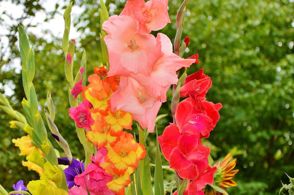 Маргаритки цветы — описание, как выглядят