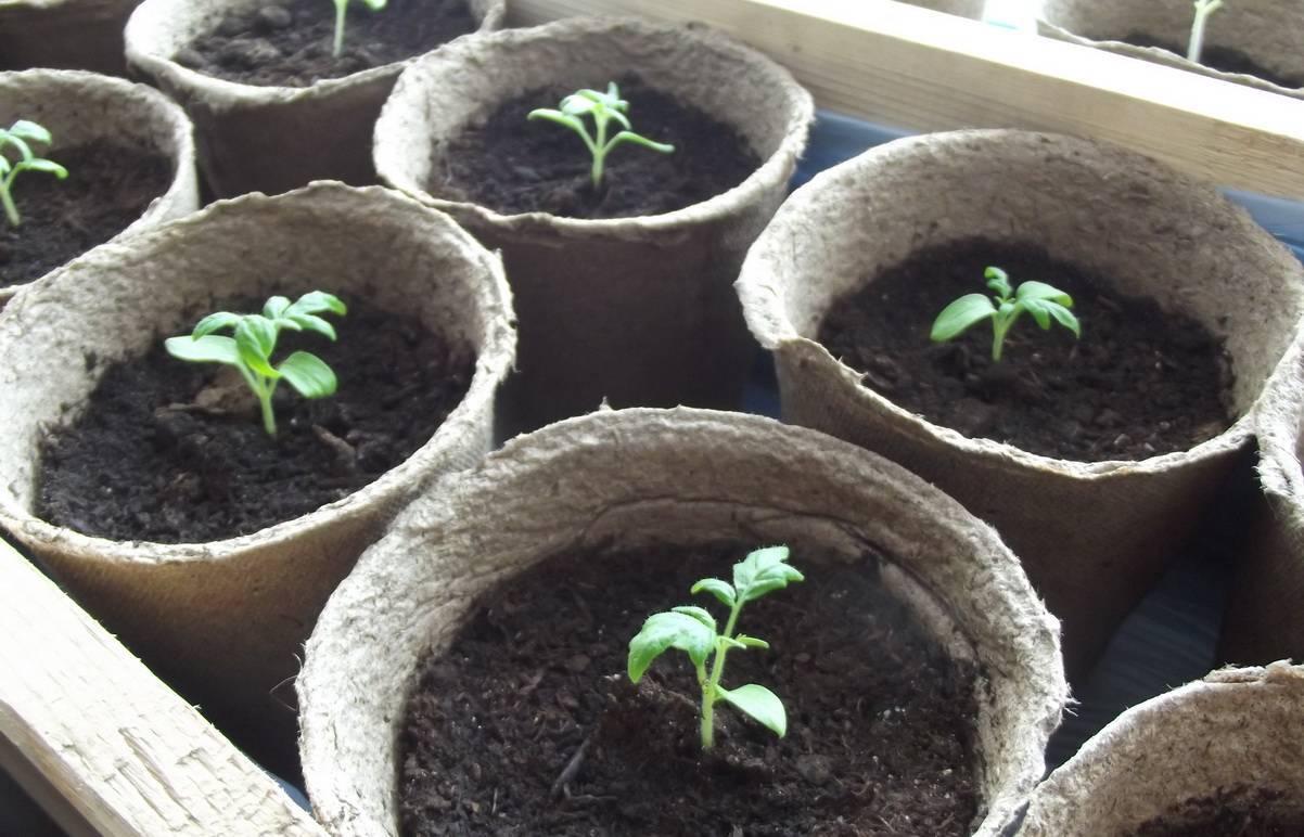 Выращивание гортензии из семян в домашних условиях: посадка на рассаду, уход