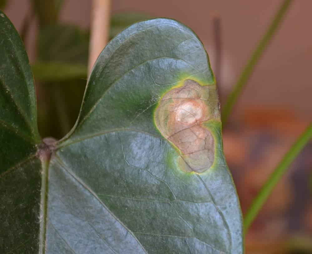 Болезни антуриума и вредители на листьях цветка