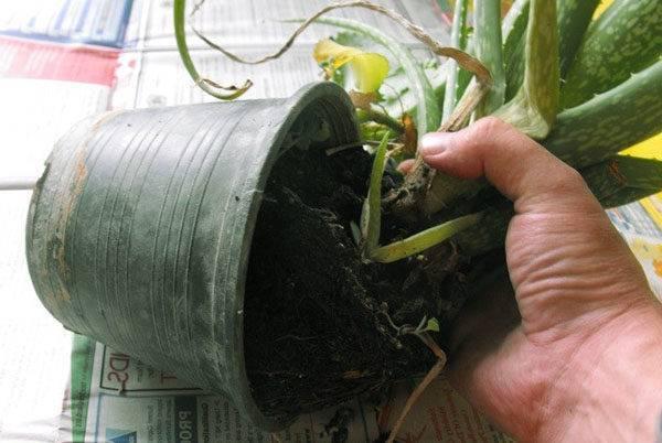 Как размножить алоэ? как рассадить его в домашних условиях? как посадить отросток без корня? как укоренить черенок? размножение листом и семенами