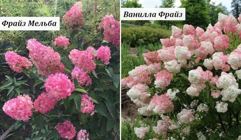 Уход за гортензией ванилла фрейз: описание сорта, размножение и высадка