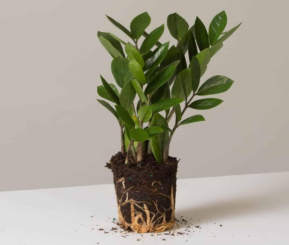 7 причин, почему у долларового дерева желтеют листья, что делать и как спасти замиокулькас