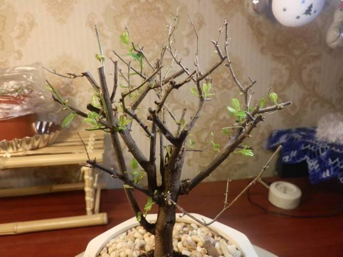 Почему комнатная азалия не цветет? что сделать, чтобы растение набрало бутоны?