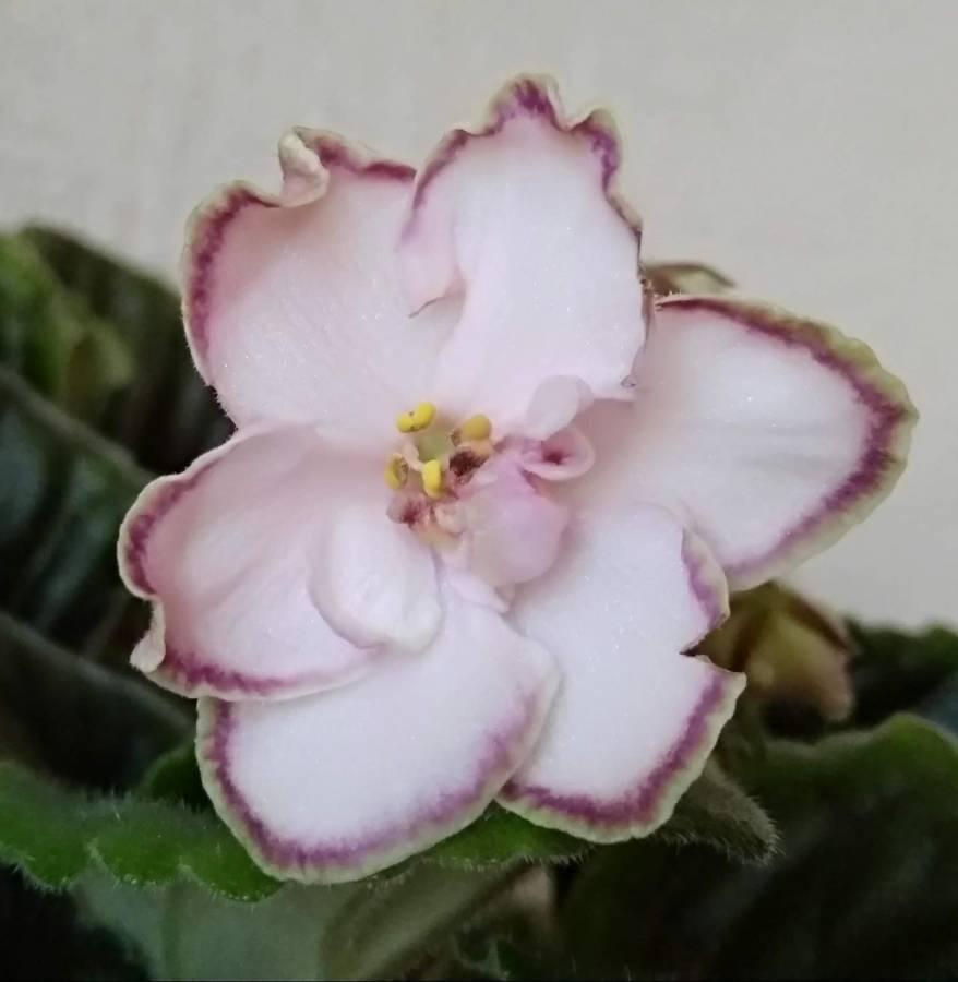 Зеленая фиалка (49 фото): описание сортов рс-зеленая лагуна и ле-зеленая роза, ек-малахитовая орхидея и рс-изумрудный город, н-зеленый чай и ек-зеленые узелки