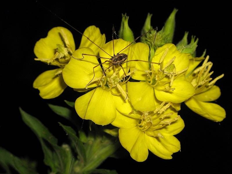 Лунник (33 фото): лунник оживающий (многолетний) и однолетние цветы, желтый и другие виды. посадка и уход за растением. размножение