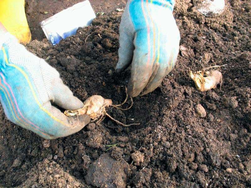 Как посадить крокусы и ухаживать за ними