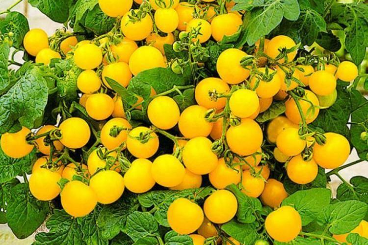 Топ-5 лучших сортов ампельных томатов