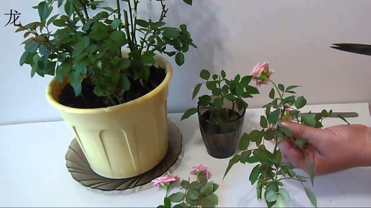 Комнатная роза: уход в домашних условиях и способы размножения