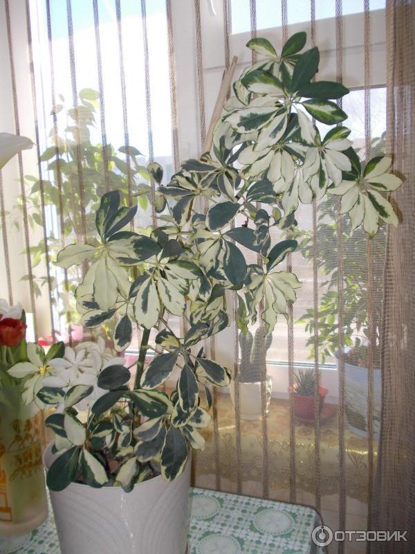 Как ухаживать за шеффлерой и выращивать растение в домашних условиях
