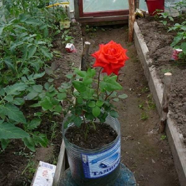 Выращивание роз в контейнерах – все о сортах, посадке, уходе и зимовке