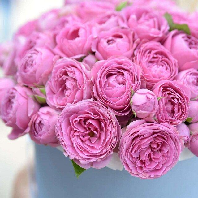 Кустовая роза: посадка и уход в открытом грунте