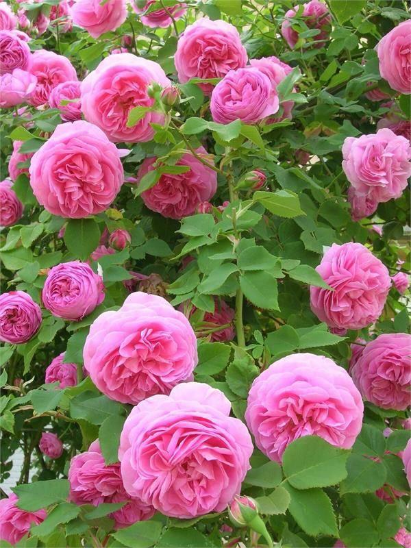 Описание махрового сорта розы астрид графин: выращивание культуры, как ухаживать