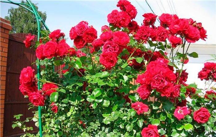 Плетистая роза «симпатия»: описание сорта, особенности посадки и ухода