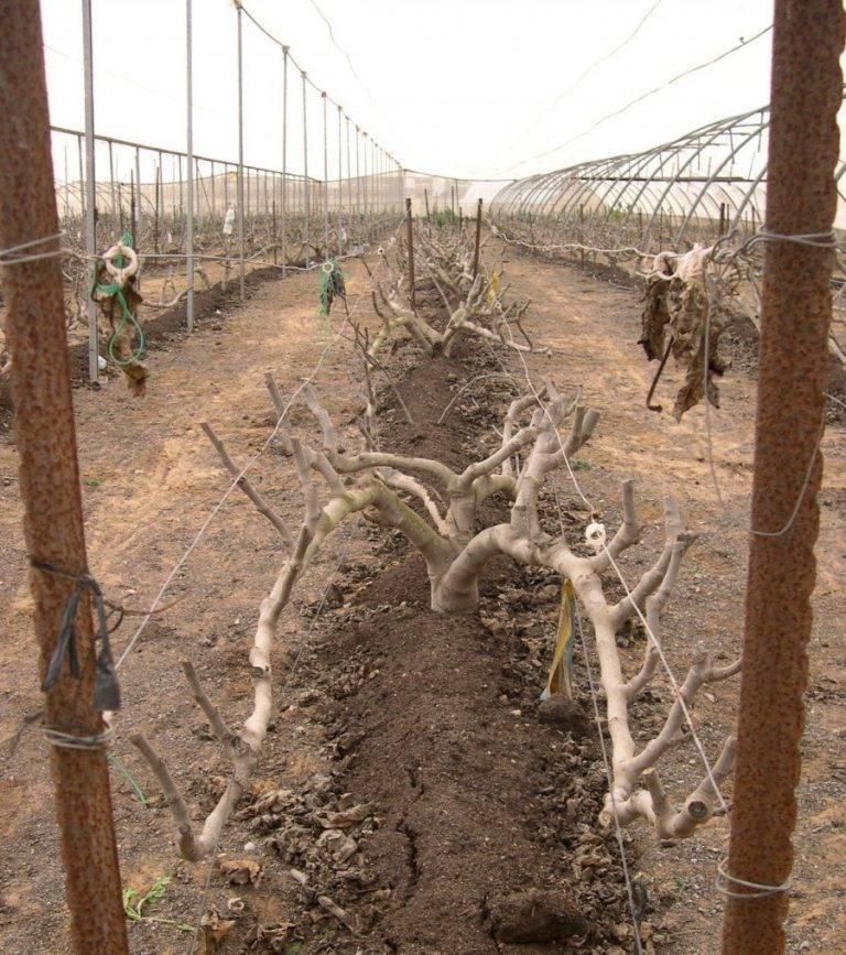 Выращивание фигового дерева в открытом грунте: уход за растением, обрезка инжира