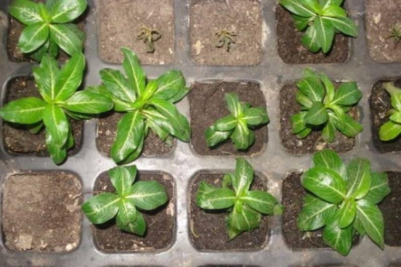 Выращивание катарантуса из семян в домашних условиях: как и когда сеять ампельные катарантусы на рассаду?