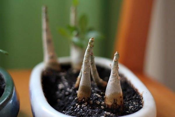Выращивание адениума в домашних условиях: особенности посадки и ухода за растением