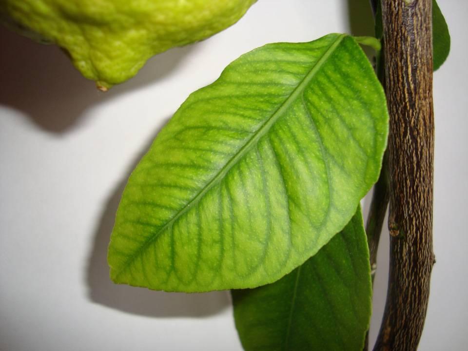 Заболевания и вредители комнатного лимона
