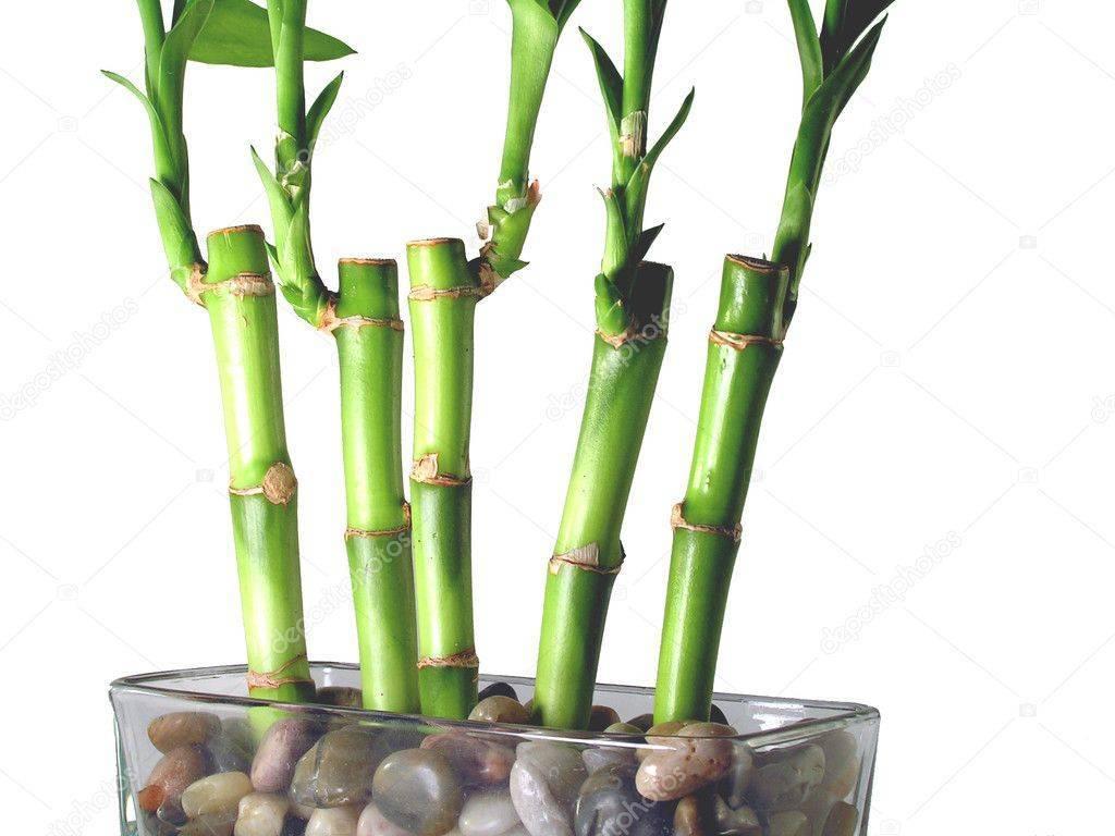Бамбук, или кусочек тропиков у вас дома