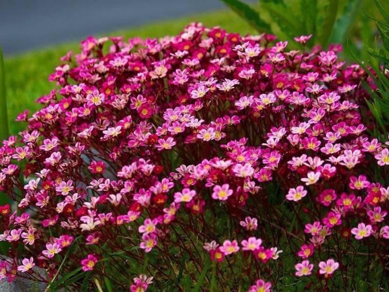 Цветок камнеломка — посадка и уход дома
