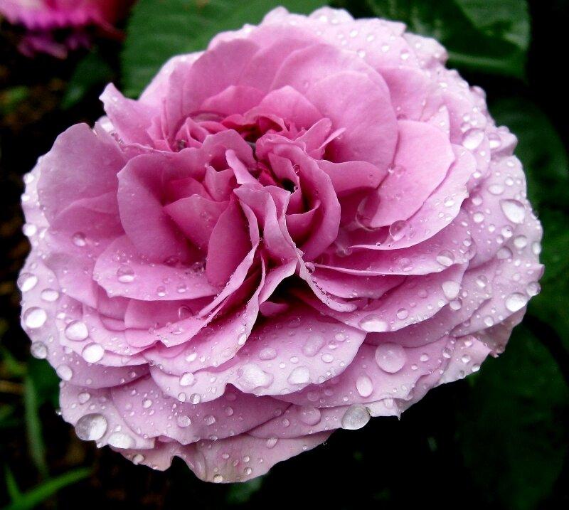 Лучшие почвопокровные розы для великолепного сада