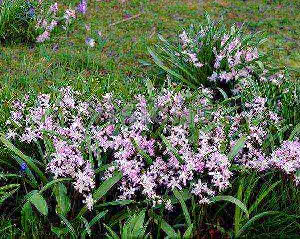 Виды и сорта хионодоксы для посадки в открытом грунте: форбса, sardensis и доугие