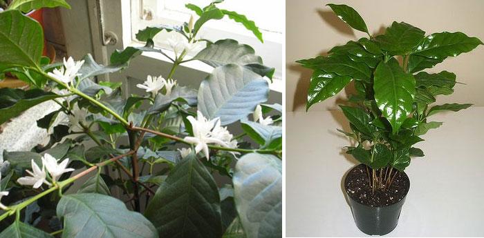 Кофейное дерево: уход в домашних условиях, фото, возможные болезни и вредители
