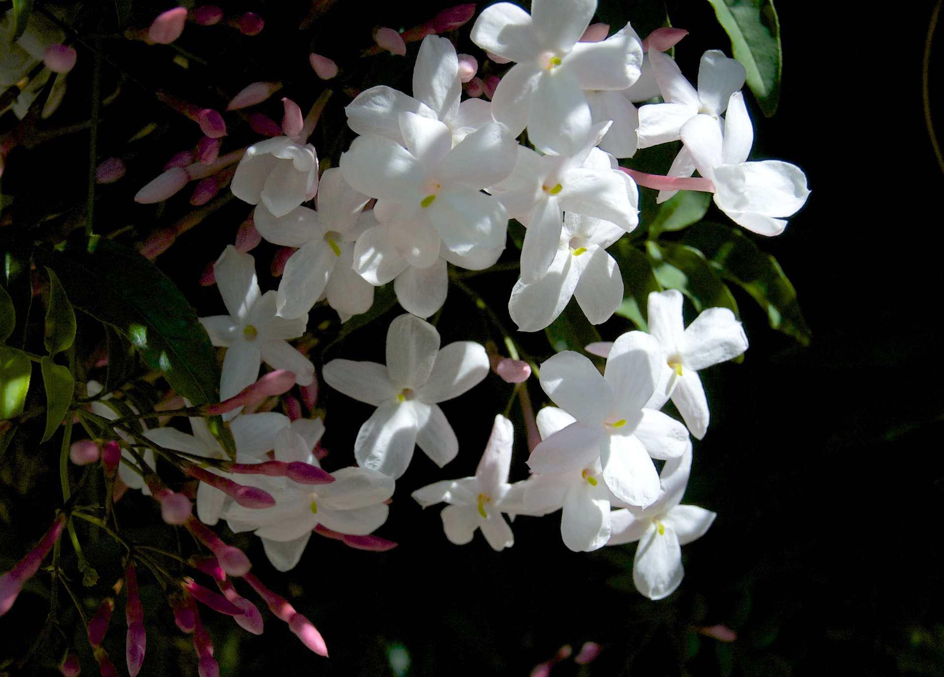Комнатный жасмин мадагаскарский, многоцветковый, голоцветковый, желтый