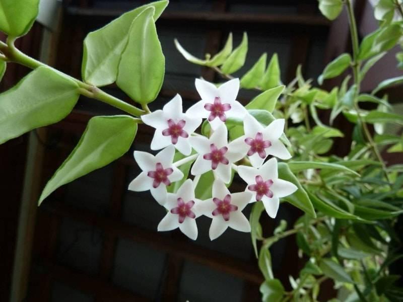 Уход в домашних условиях за растением — хойя (фото комнатного цветка)