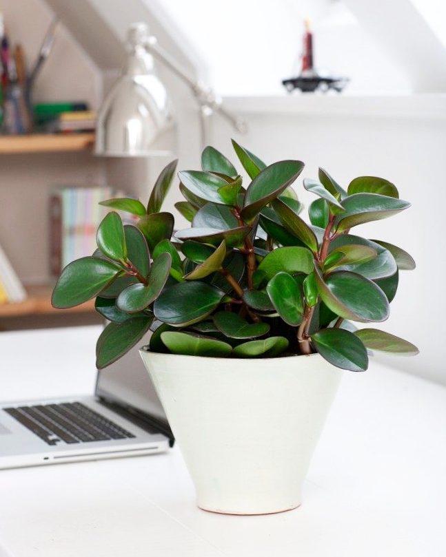 Комнатное растение пеперомия: уход в домашних условиях, размножение
