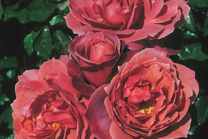 Чем роза флорибунда отличается от чайно-гибридной? особенности и отличия роз. какая из них лучше?