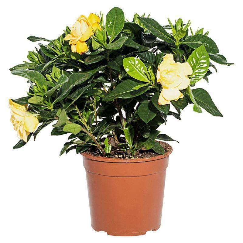 Гардения жасминовидная (gardenia jasminoides) – комнатные цветы