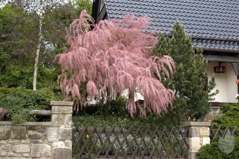 Удивительная изюминка сада кустарник тамарикс