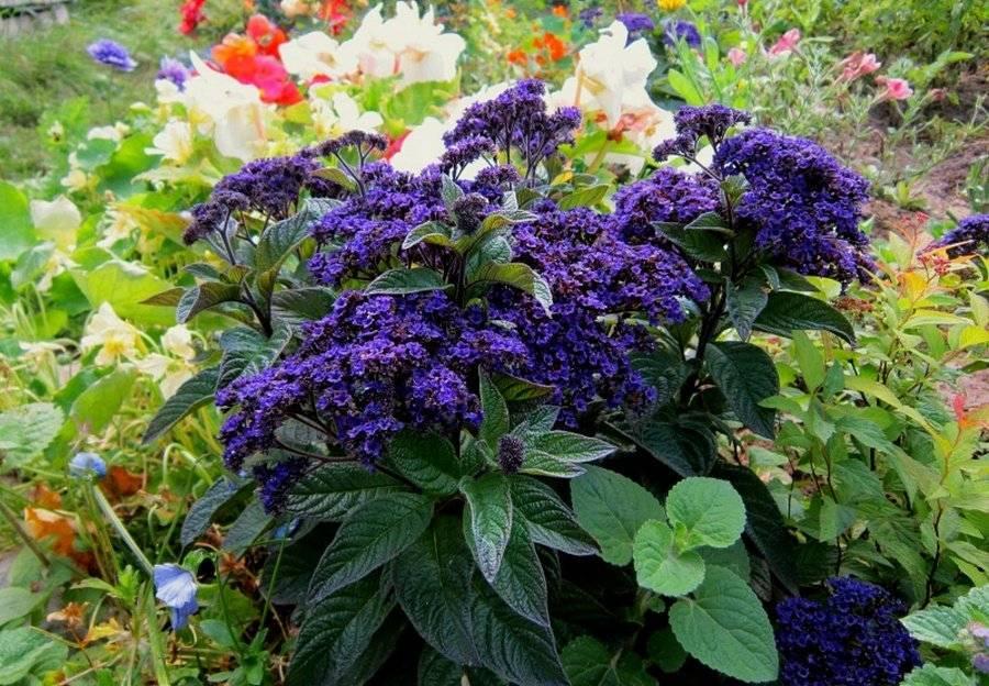 Гелиотроп цветок выращивание