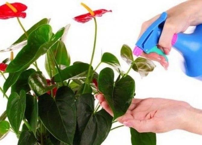 Антуриум — пересадка в домашних условиях